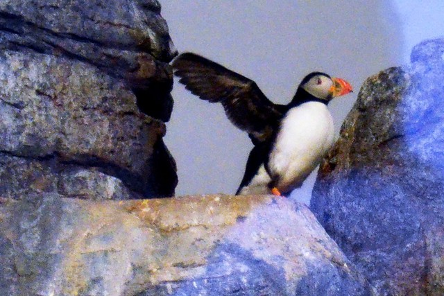 Puffin Wingspan