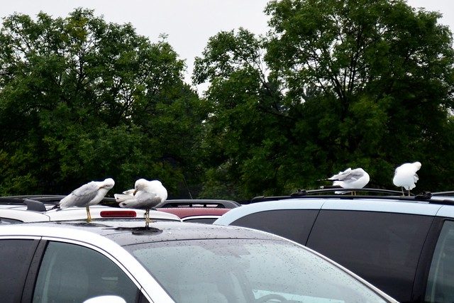Birds on Cars