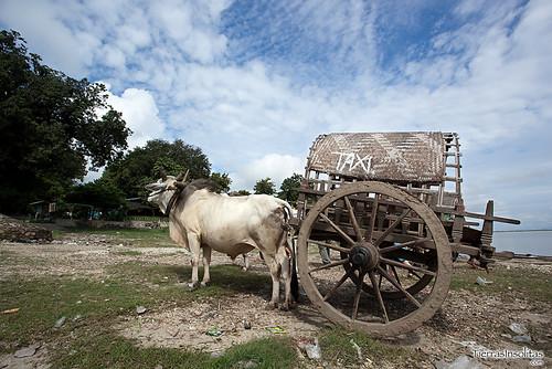 Carro Bueyes en Mingun (Myanmar)