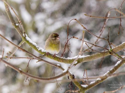 Grünfink oder Grünling (Carduelis chloris)