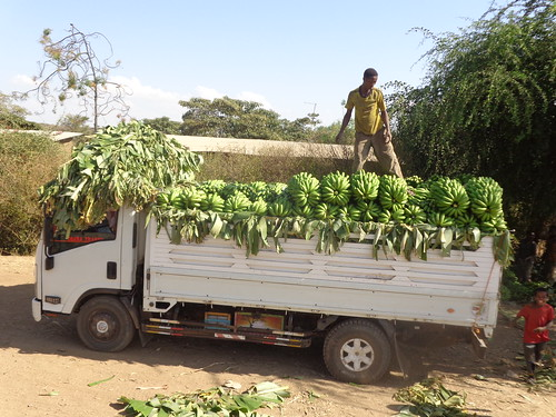 ISUZU track loading banana to transport to Addis (Photo: ILRI\Azage Tegegne)