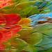 Plumage detail, Scarlet Macaw, Ara macao