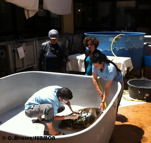 Haciendo la cura a una tortuga con fractura de caparazón