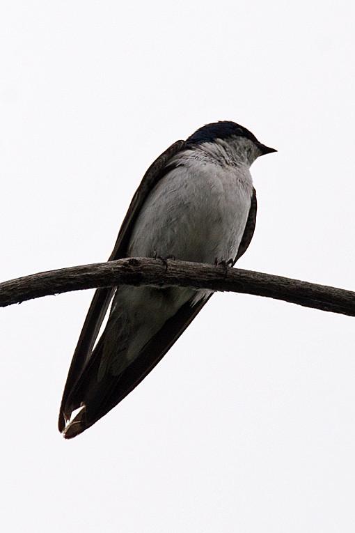 _DSC0457 Tree Swallow
