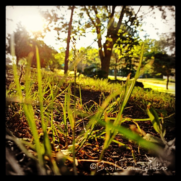 July 25 - ground {my front yard as seen from ground level} #fmsphotoaday #ground #sunrise #morning #grass #princeedwardcounty