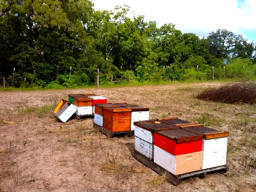 New bee yard out at MooJesus Dairy Farm in Seguin
