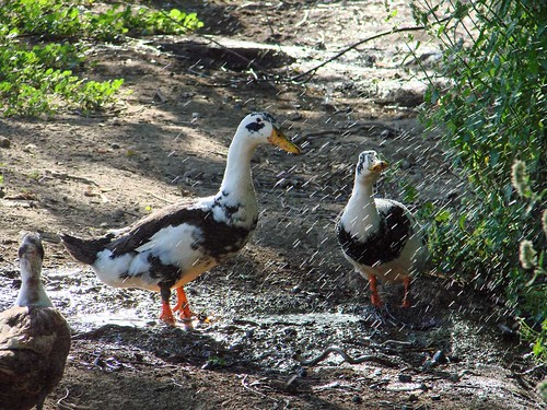DuckSprinkler