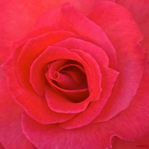 Sweet Pink Core Unfurls - IMRAN™ by ImranAnwar