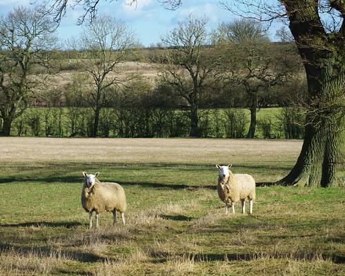 20120219-10_Sheep x2 nr Manor Farm - Clifton Upon Dunsmore by gary.hadden