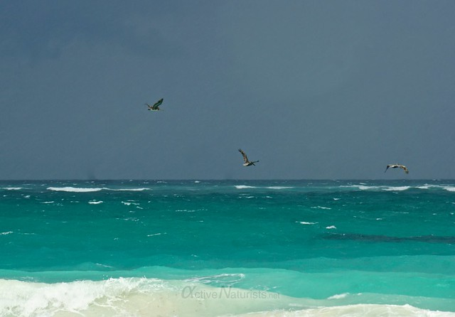 pelicans in the rain  0002 Sian Kaan beach, Quintana Roo, Mexico