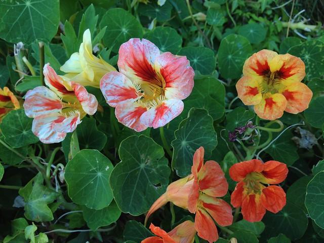 Colorful mixed nasturtiums