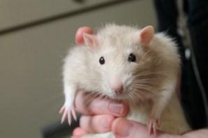 Merlin the rat--super sweet