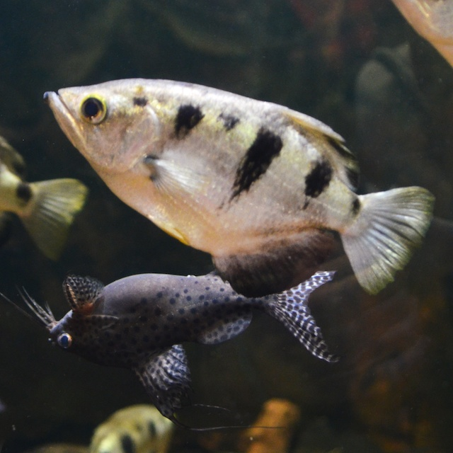 Archerfish and Asian Upside-Down Catfish