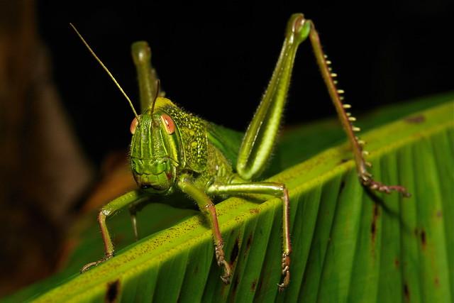 Citrus Locust (Chondracris rosea, Acrididae)