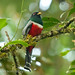 Collared Trogon male 1