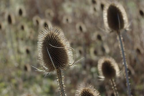 20120219-13_Teasel Seedhead by gary.hadden