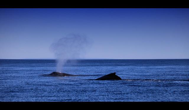 Pair of Humbacks off the coast of Myalup, Southwest Australia