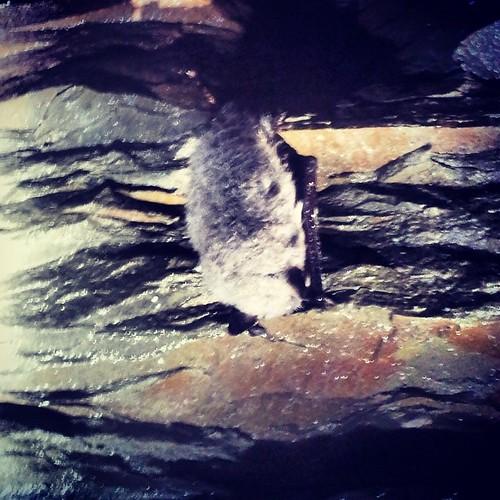 #whiskeredBrandt #myotis #bat #Lancashire #cave #hibernation