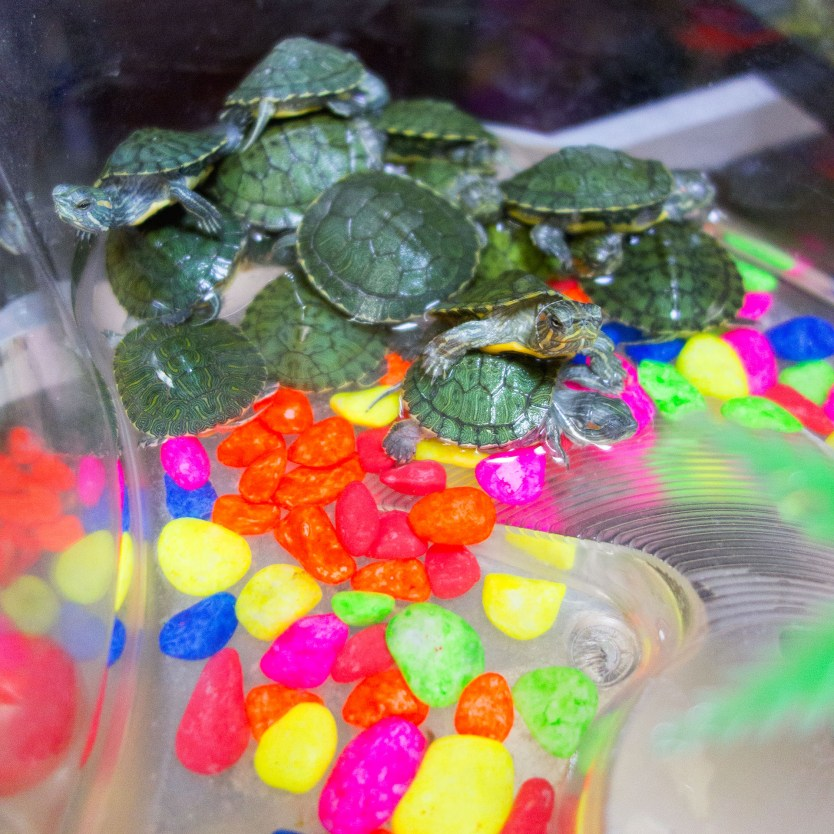Turtles for sale in the local pet store.