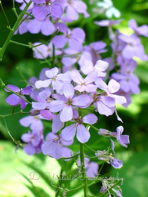 Wild Purple Phlox