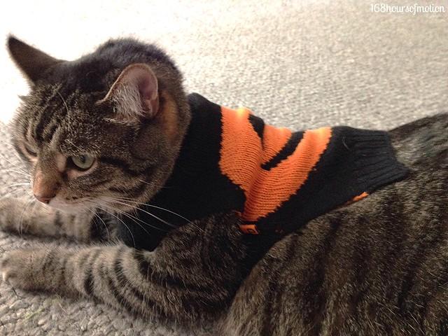 Chubbs in her pumpkin sweater