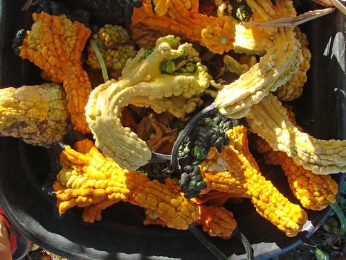 GourdsHarvest