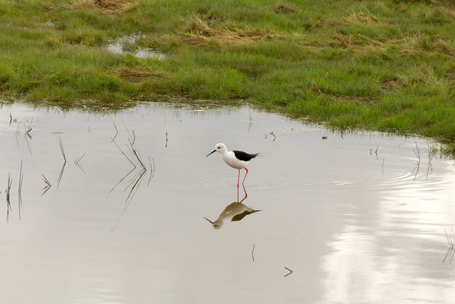 Black-winged Stilt closer
