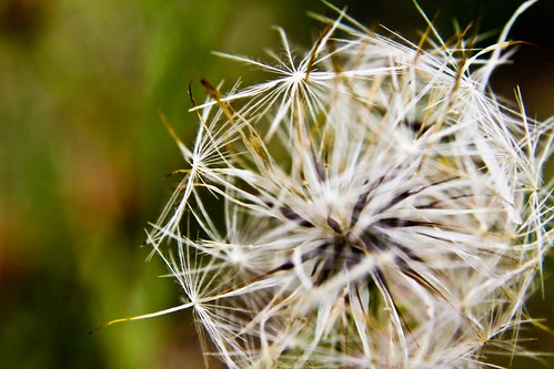 Dandelion Seeds by Richard Le Sauvage