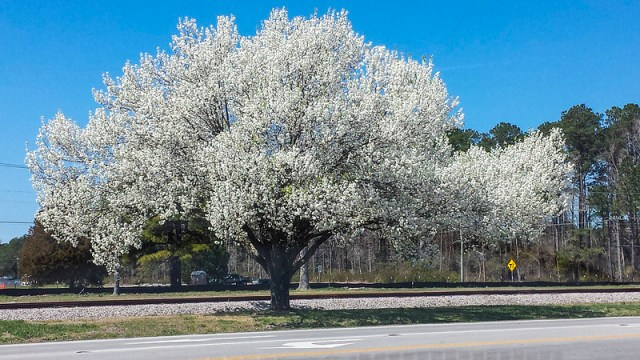 BlossomedTree