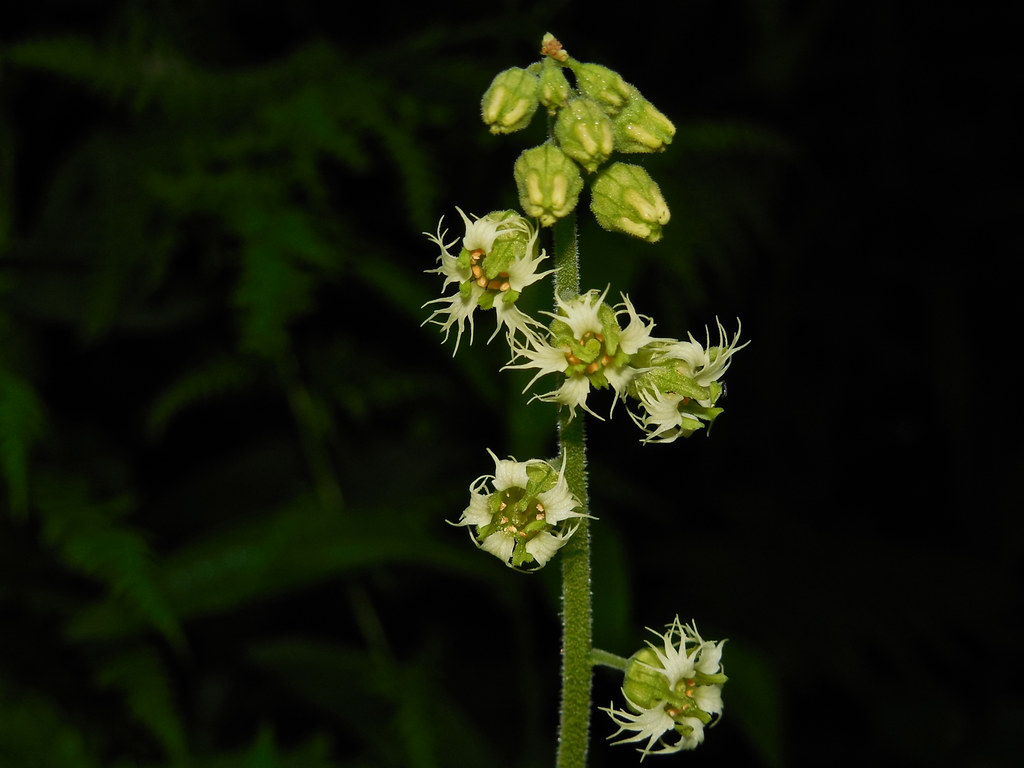 Brewer's mitrewort,feathery bishop's-cap
