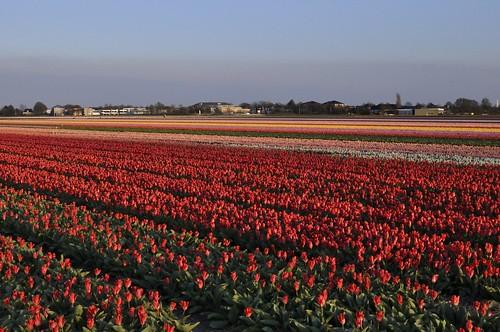 Tulip Feilds