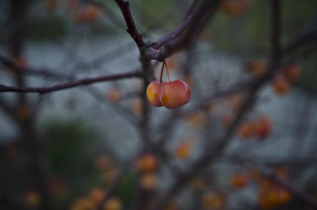 wild apples. (47/365)