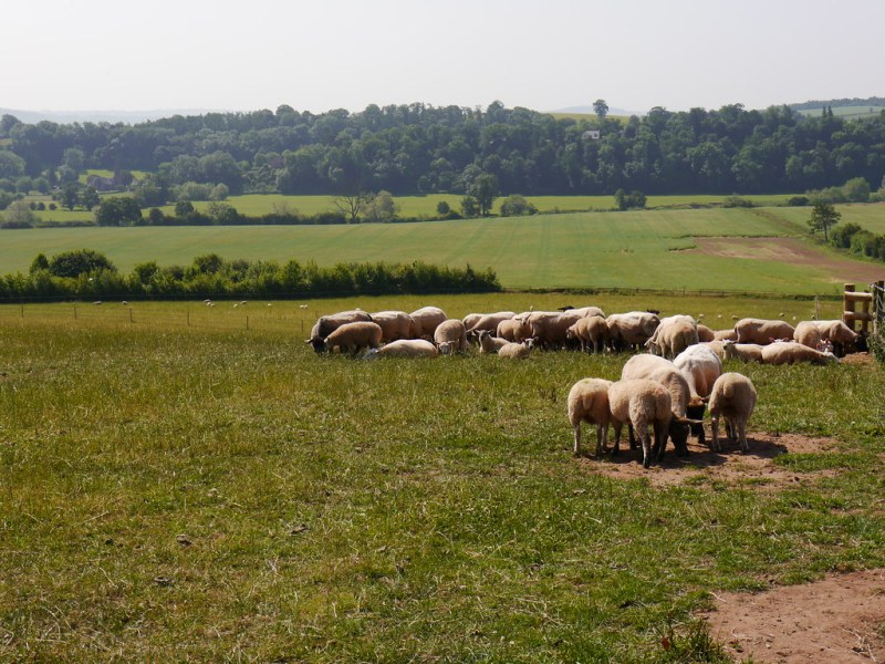 Kings Caple - sheep and view of Sellack