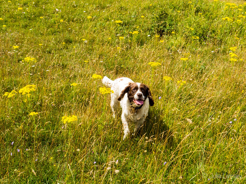 Max romps through the grass at Badbury Rings