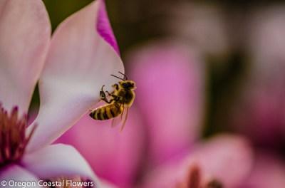 tulip magnolia in bloom