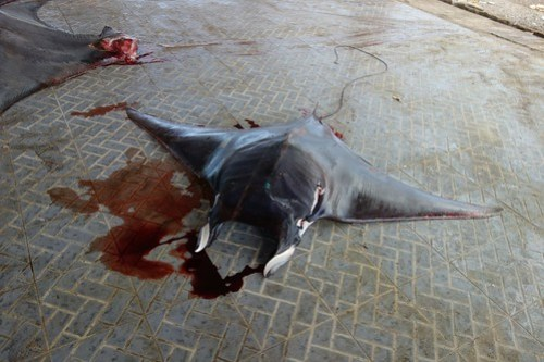 Tanjung Luar: dead manta ray, with gills cut away.  The first manta I laid eyes on.