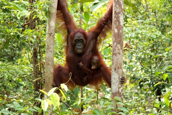 Orangutans - Borneo Rainforest - Kalimantan, Indonesia