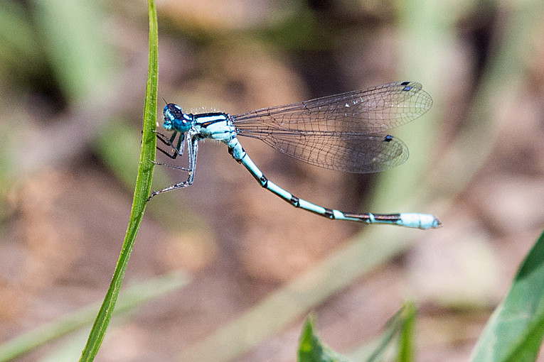 _DSC0119 Common Blue Damselfly (m)