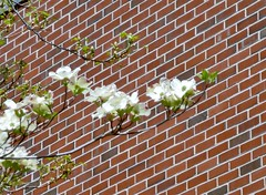 Dogwood blossoms and brick wall - May 6 / Day 126