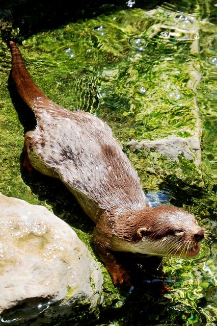 Chatty Otter