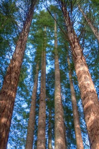 Redwood Stand