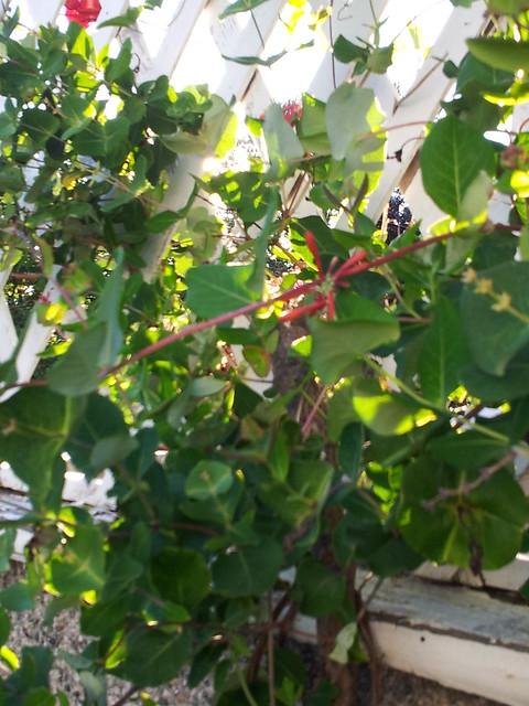 Honeysuckle in August