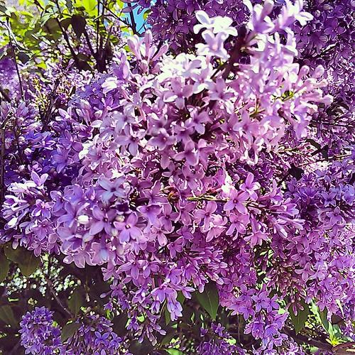 Lilacs!