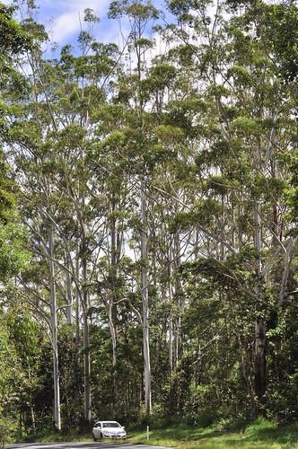 Eucalyptus grandis__DSC2317