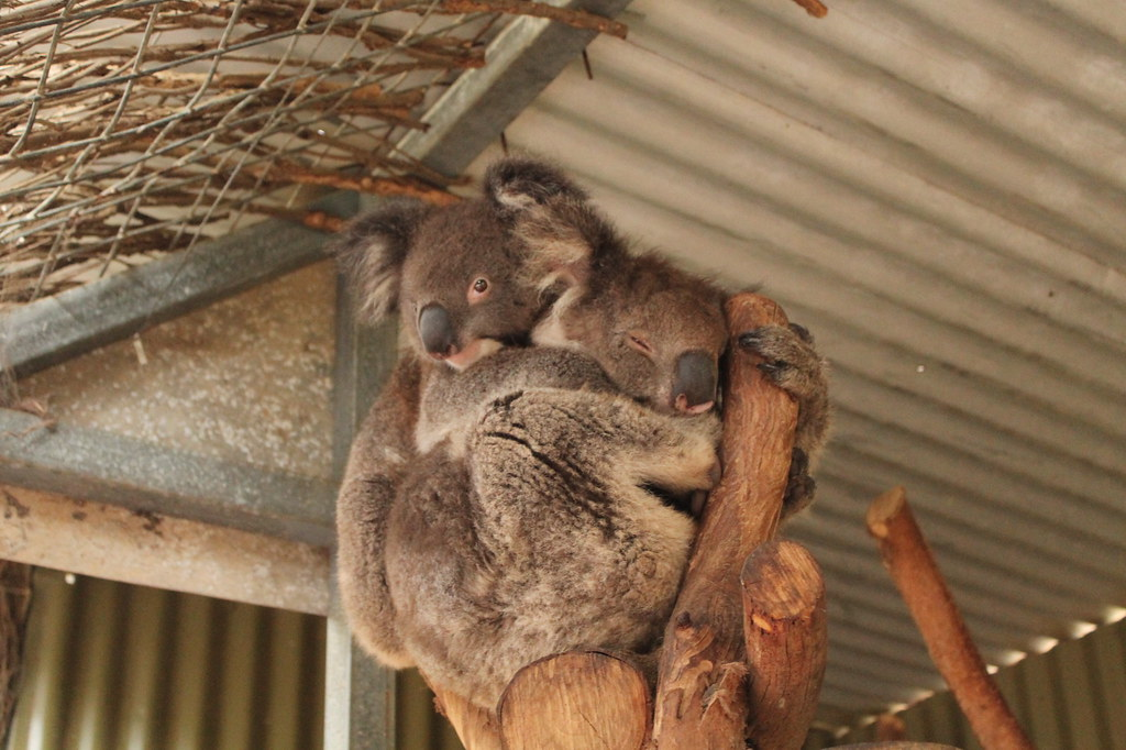 Koala Kangaroo Island - www.fraintesa.it