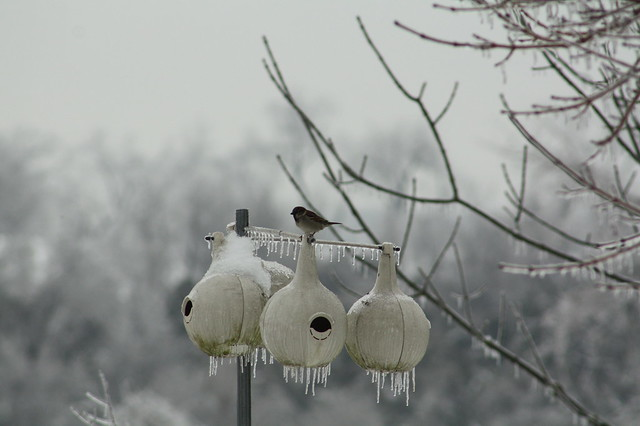 Birdies on Icicle Laden Houses