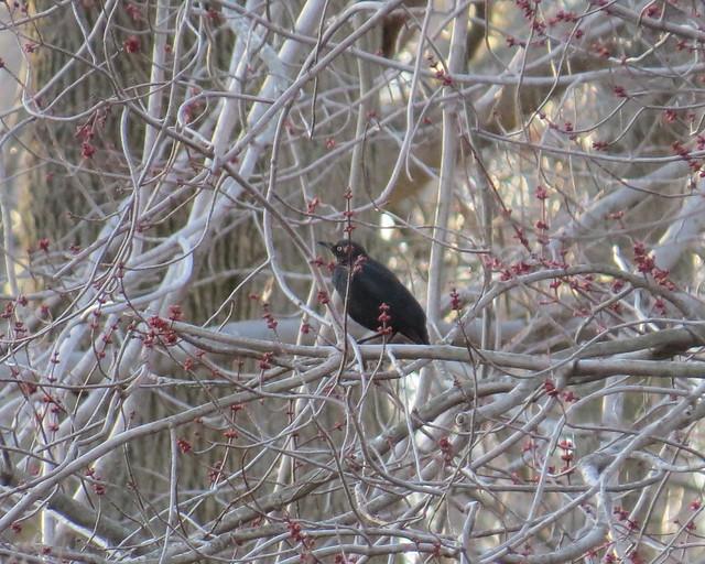 Rusty Blackbird - Bombay Hook NWR, DE - 3/23/14