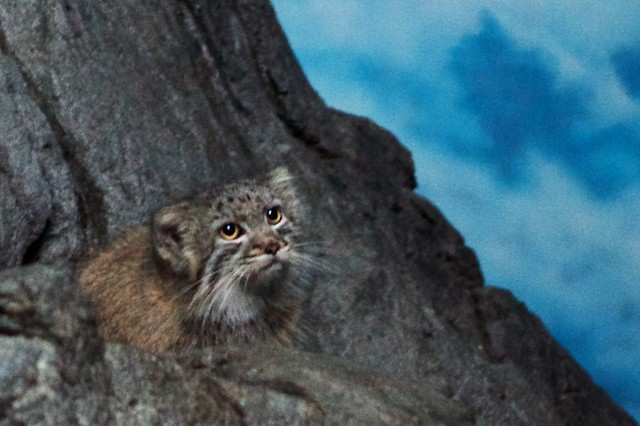 Pallas Kitten, Pondering a Jump