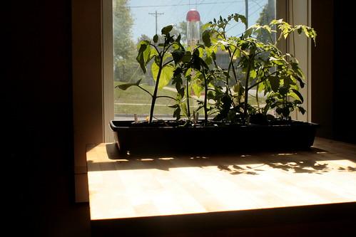 tomatoes waiting