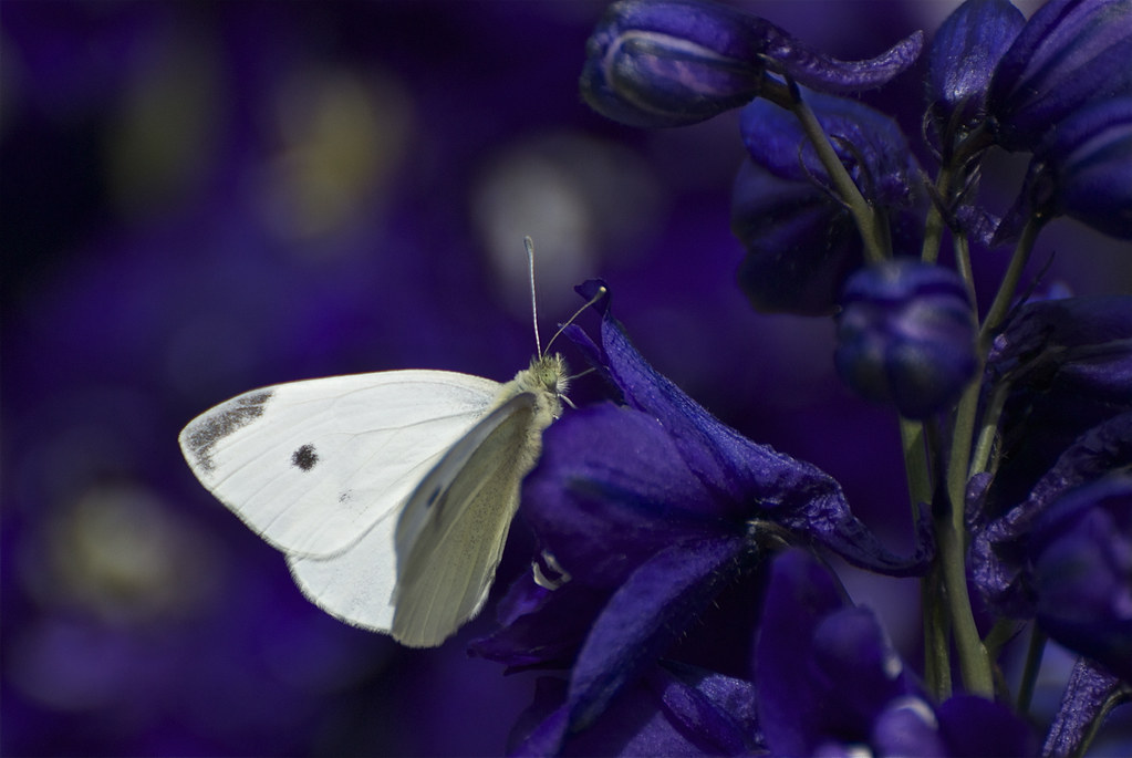Cabbage White butterfly on Delphinium